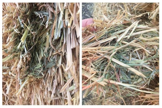 new season hay crops nhill victoria